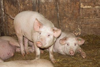 Свинская жизнь. Едят, спят и растут